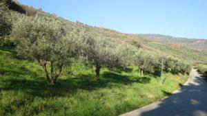 Uliveti a Spello, nei pressi di Casa San Girolamo